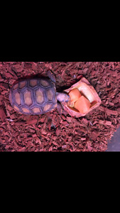 Tortue yellow foot male a donner