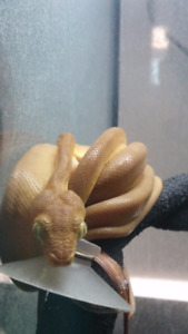 Yellow Phase Amazon Tree Boa