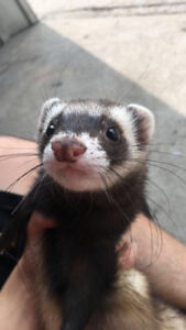 Awesome baby ferrets at The Extreme Aquarium here in Sarnia