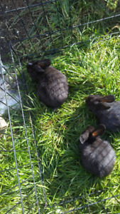 Flemish cross rabbits