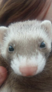 Lost ferret in Rutland