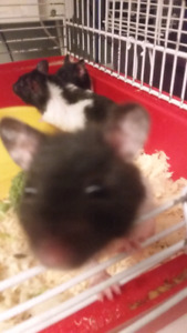 Panda bear hamsters with cage plus food