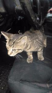 Kitten tabby female