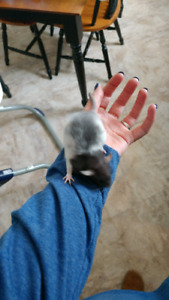 Mommy and babies rats for sale