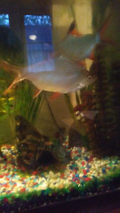 Two 5inch Freshwater Goldfish Free
