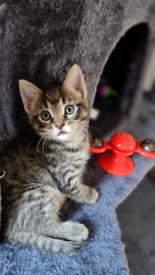 Tabby male kitten for sale