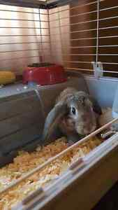 Grey and Brown Floppy Ear Cottontail Bunny