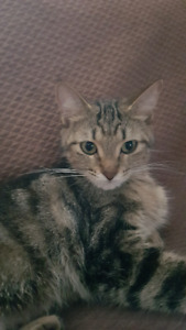 Rescued Young Tabby Lap Kitten / Cat - spayed & immunized!