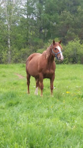 APHA Mare/Foal