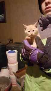 1 manx male  kitten/ 1 male tabby kitten