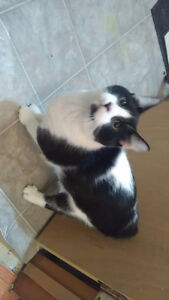 Male manx cat looking for home