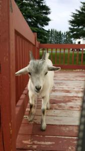 Mini chèvre pygmee 4 mois