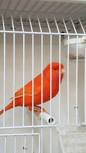 CANARIES FOR SALE...BEAUTIFUL BIRDS