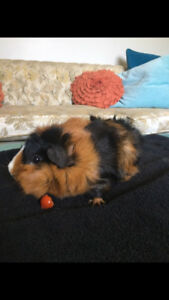 8 month old Guinea Pig and all her Accessories