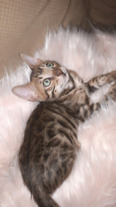 Stunning male charcol rare color tica Bengal