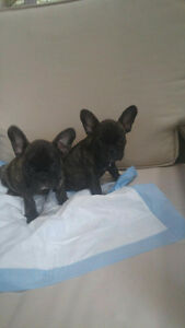 ADORABLE FRENCH BULLDOGS PUPS