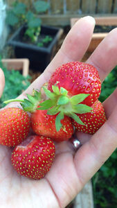 Strawberry plants for sale!
