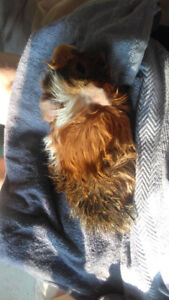 guinea pig to good home sold