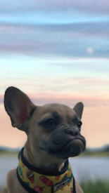 """KC registered French Bulldog """"Cookie"""""""
