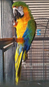 Catalina   macaw   rehoming