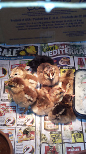 Barnyard Mix Chicks and Partridge Chantecler Chicks for Sale