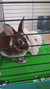 Bunnies rabbits - 2 for $50 comes with used cage & supplies