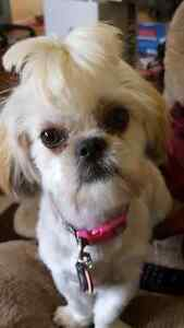 Looking for a male shihtzu for mating
