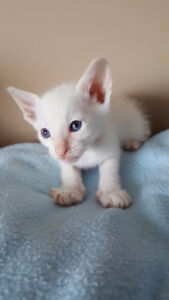 PUREBRED CLASSIC FLAME POINT SIAMESE KITTEN STILL AVAILABLE