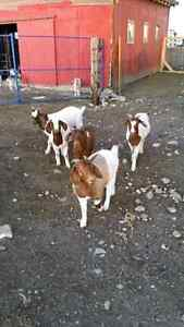 Goat wethers available