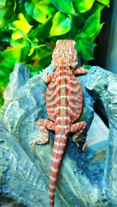 High color and white line bearded dragons