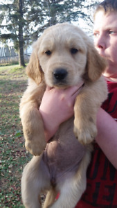 GOLDEN PYRENEES PUPPY FOR SALE