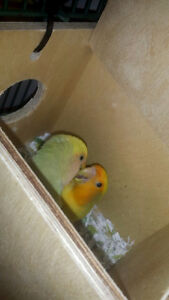 Pair of proven lovebirds