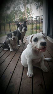 Blue Pocket American bully puppies papered (abkc) imported lines!