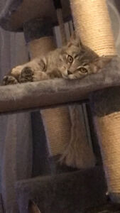 Lost very timid grey tabby female cat