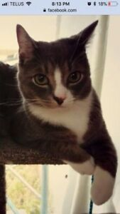 Missing Grey and White Cat in Lower Coverdale Area