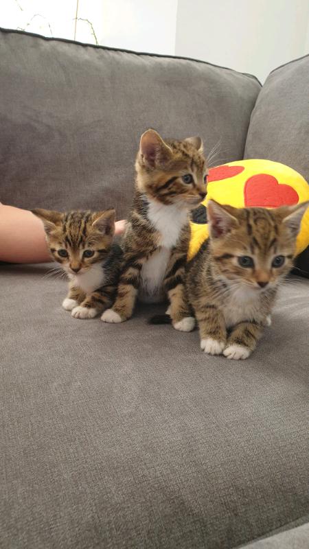 Kittens For Sale In Exeter Devon Gumtree
