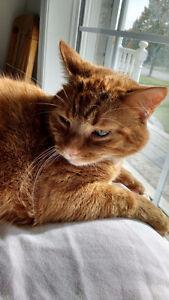 LOST ORANGE TABBY CAT