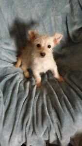 Small Puppies Yorkshire Terrier x Chihuahua (Chorkie)