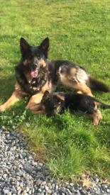 Pedigree German Shepherd Pups 🐾 Only 2 left