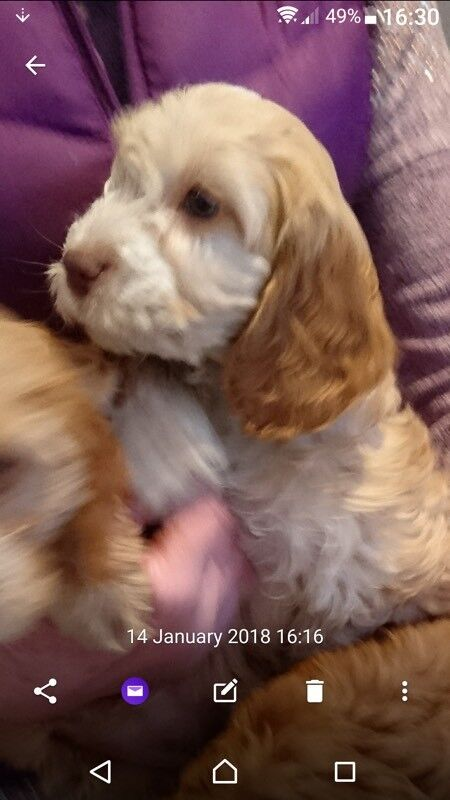 Cockerpoo puppy girls
