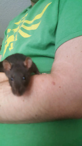 Young female rat - Scuttle