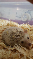 Male Hedgehog for sale