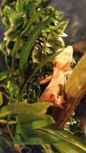 Selling all my Crested Geckos Kitchener / Waterloo Kitchener Area image 5