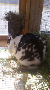 Pregnant NZ rabbit for sale, hurry up!