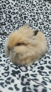 Looking for a Sweet & Soft Small  Bunny to Add to Your Family? Oakville / Halton Region Toronto (GTA) image 2