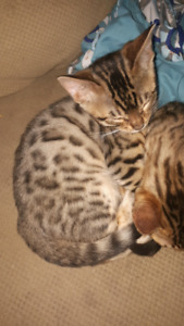 Beautiful male tica registered Bengal ready to go