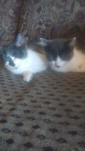 Two female kittens both grey and white