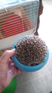 Hedgehog for sale female 1 year old