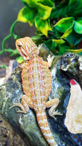 High end speciality morph bearded dragon babies