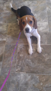 Rehoming Purebred Beagle